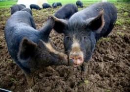 Special offers – Pork
