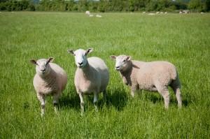 Canford Magna Lambs