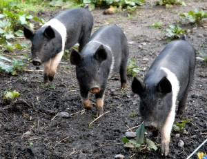 rare traditional pig breeds